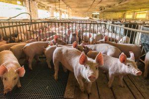 Tierzucht: Ein neuer Gentest findet das beste Fleisch