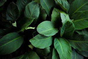 Besseres Raumklima: Blattpflanzen fangen Schadstoffe