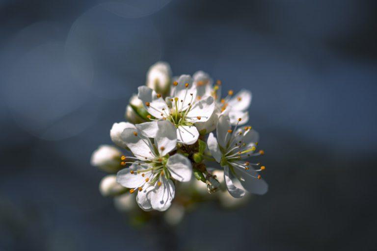 Weißdorn: Ein starkes Herzmittel ohne Nebenwirkungen