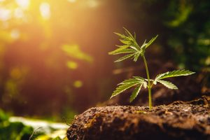 Cannabis in der Schmerztherapie