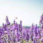 Naturmedizin: Wie Sie Lavendel richtig zubereiten und anwenden