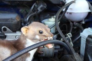 Marder im Auto? Was gegen zerkaute Schläuche wirklich hilft