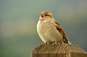 Warum Vögel so früh morgens singen
