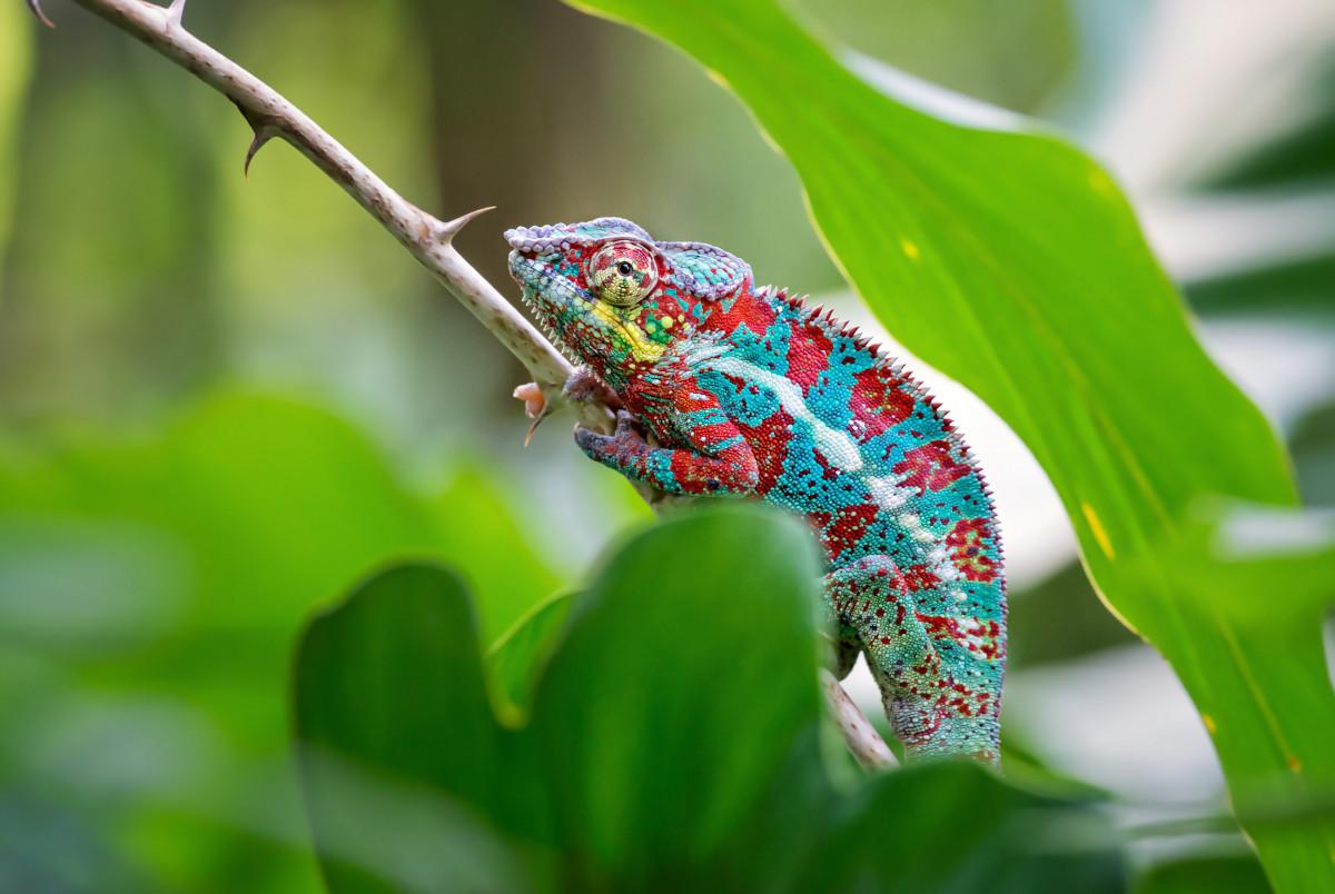 Heimat vieler Reptilien und Amphibien: Madagaskar