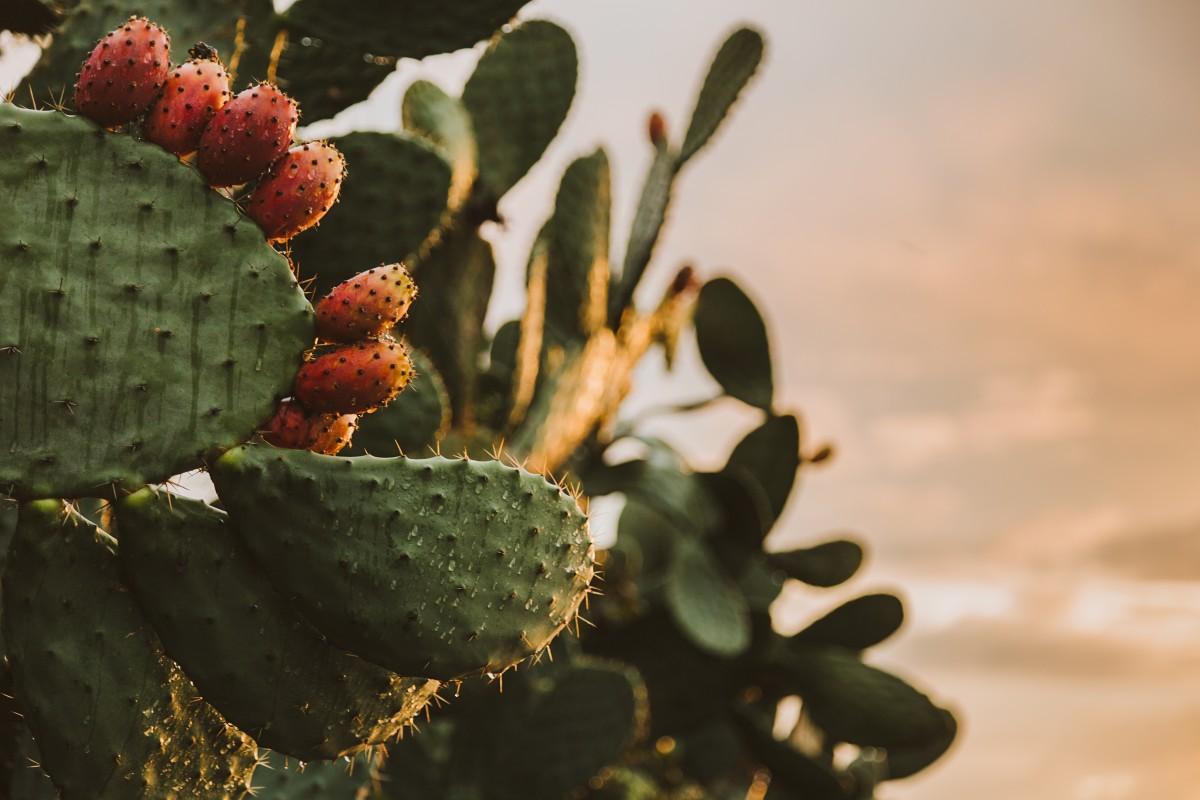 Kaktusfeigen: Köstliche Früchte mit Tücken (Teil 1)