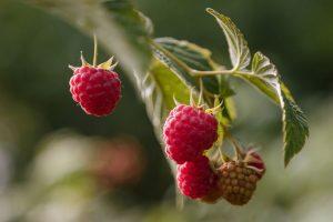 Himbeeren - einfach tolle Früchte