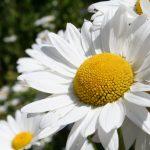 Pflanzenmittel in der Homöopathie: Korbblütler