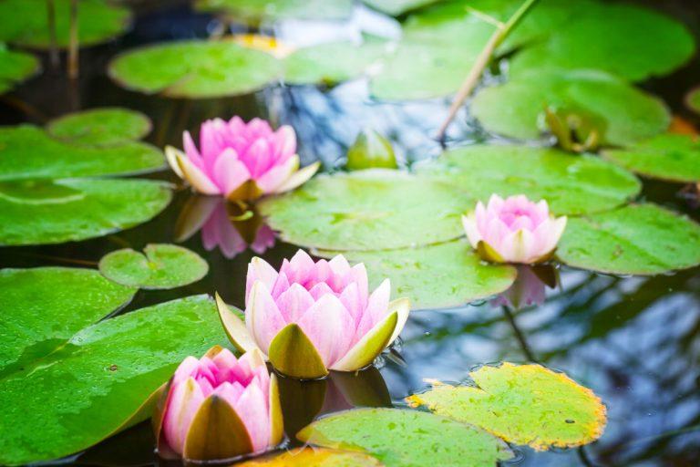 Pflanzenmittel in der Homöopathie: Lilien und lilienartige Gewächse