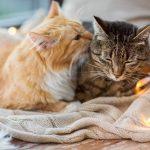 Hauskatzen: Katze oder Kater – Ein Neuzugang zu vorhandenen Katzen