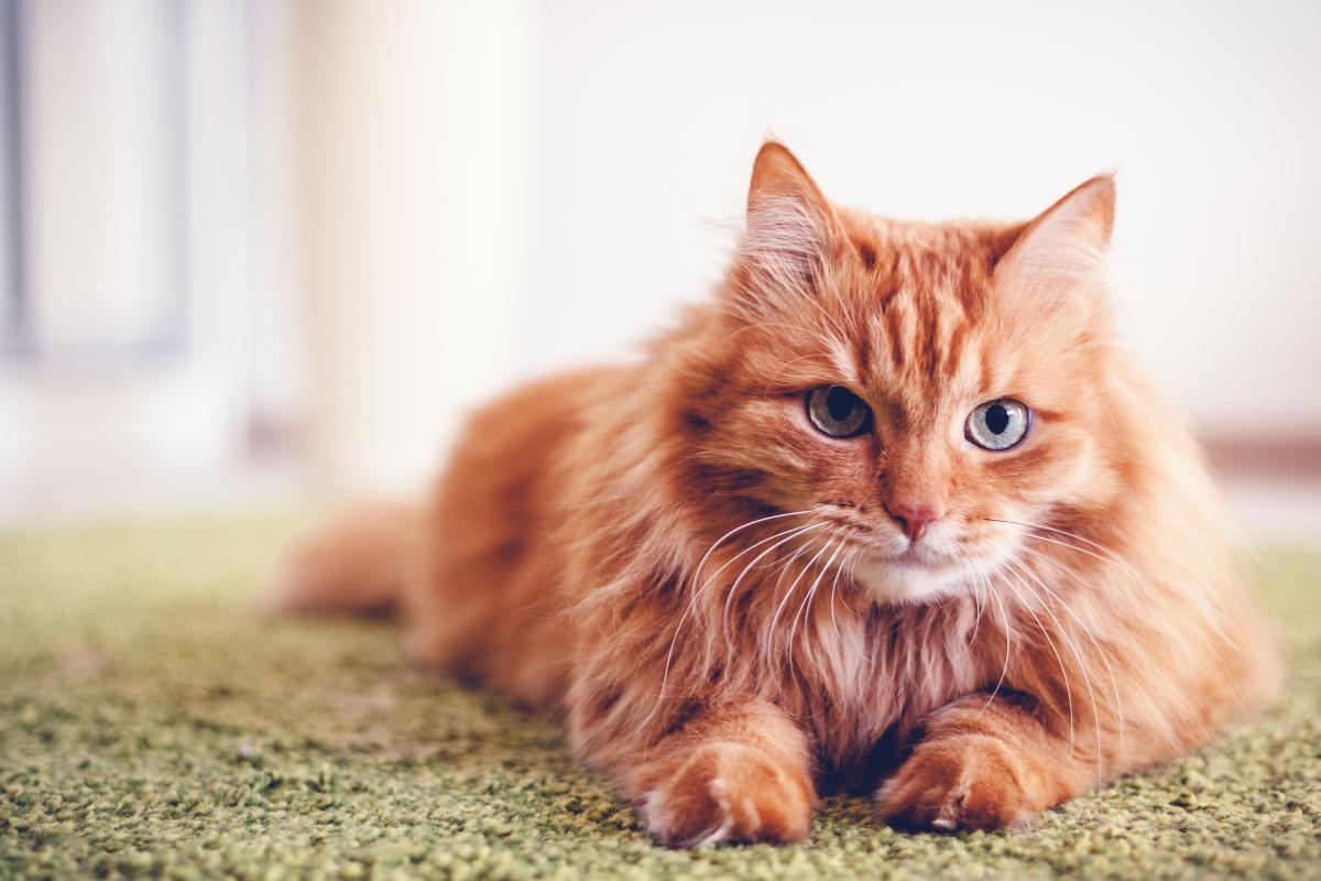 Hauskatzen: Katze oder Kater – Geschlechtsspezifische Unterschiede beim Kämpfen