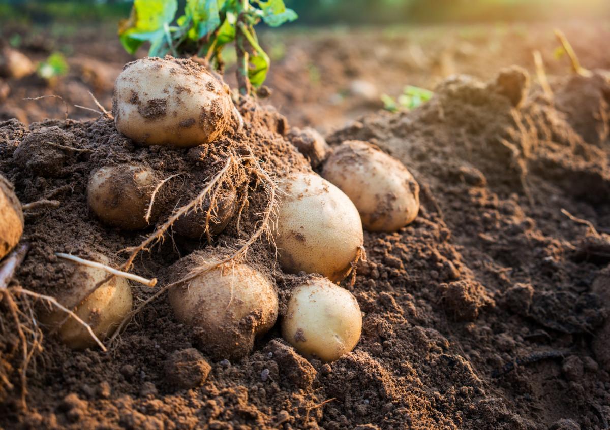 Kartoffeln pflanzen leicht gemacht