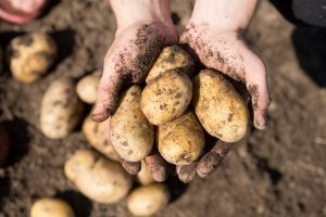 Kartoffeln pflanzen im eigenen Garten - so klappt's
