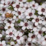 Manuka Honig: Was unterscheidet ihn von anderem Honig?