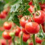 Tomaten pflanzen: Nach den Eisheiligen