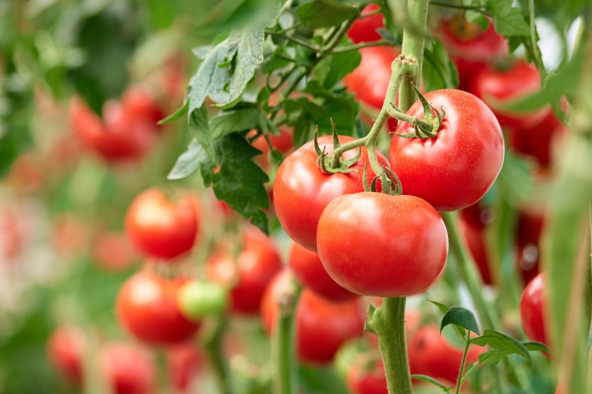 Tomaten Pflanze