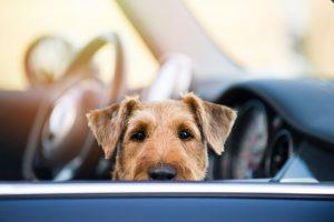 Schockerlebnis beim Hund durch Autounfall