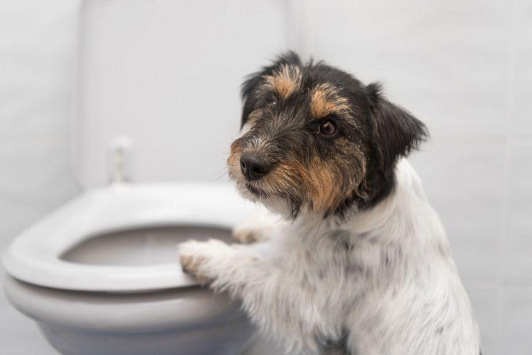 Harngrieß und Harnsteine bei Hund und Katze homöopathisch beeinflussen