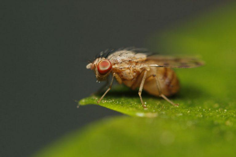Locken Sie Obstfliegen in die selbstgemachte Fliegenfalle