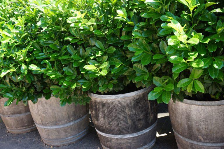 Alternativen zur Thuja: Kirschlorbeer als Heckenpflanze