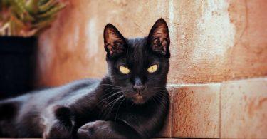 Homöopathie für Katzen : Das Konstitutionsmittel Nux vomica für Kater