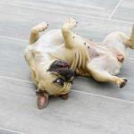 Homöopathie für Hunde: Epilepsie beim Hund