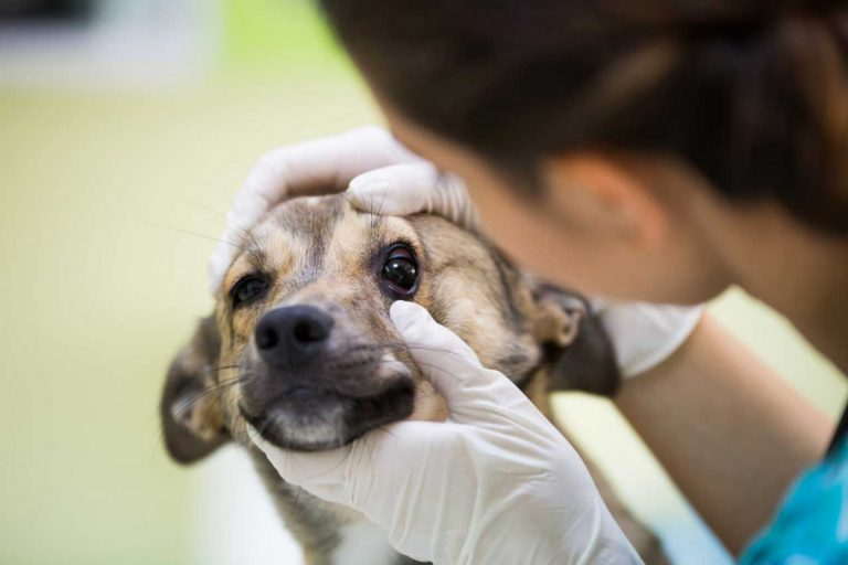 Homöopathie für Hunde: Bindehautentzündung – Konjunktivitis