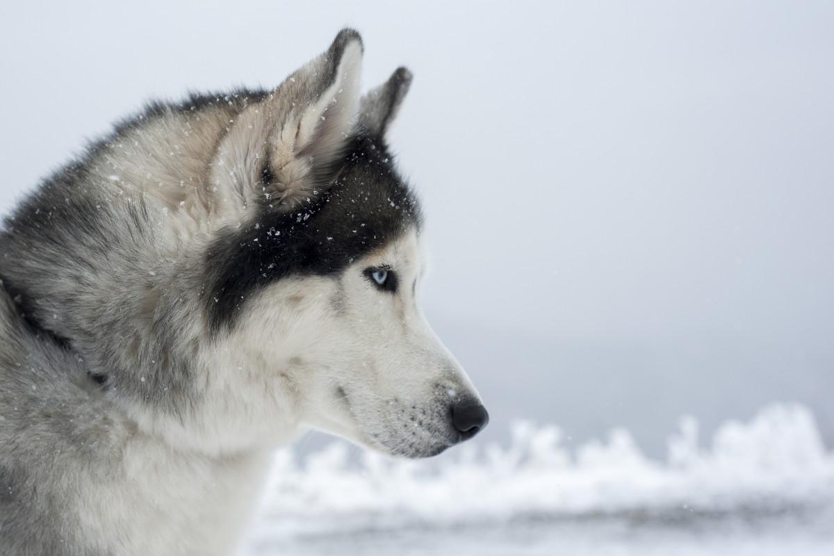 Siberian Husky: Welpe oder erwachsener nordischer Schlittenhund?