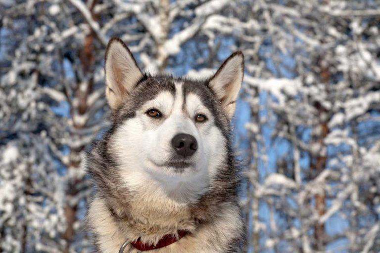 Schlittenhunde: Pflege von Fell und Zähnen