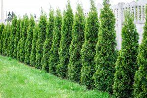 Alternativen zur Thuja: Welche Pflanzen sind für Ihren Garten geeignet?