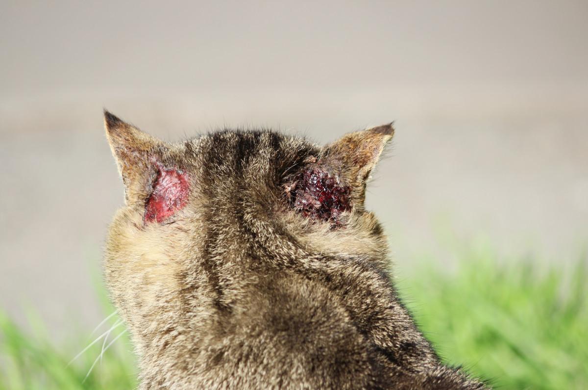 Bisswunden oder Verbrennungen bei Katzen homöopathisch behandeln