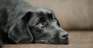 Homöopathie für Hunde – Wichtige Arzneimittel: Lachesis