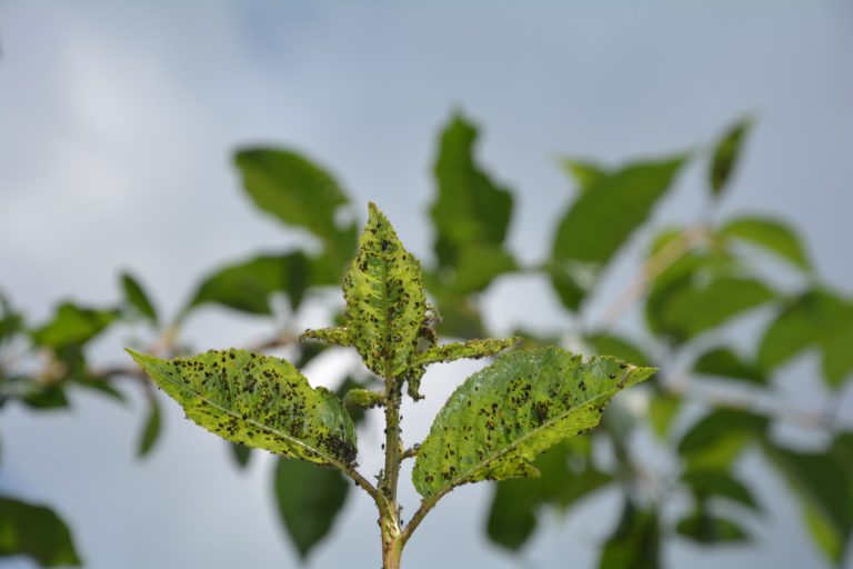 Pflanzenschutzmittel gegen Blattläuse: Stäbchen oder Sprühflasche?