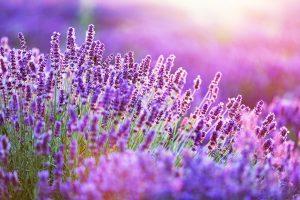 Lavendel - Ein Tausendsassa gegen Stress