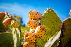 Kaktusfeigen: So werden sie gegessen und gelagert (Teil 2)