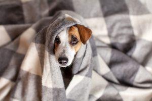 Homöopathie für Hunde - Wichtige Arzneimittel: Belladonna, Arnica, Lycopodium und Sulfur
