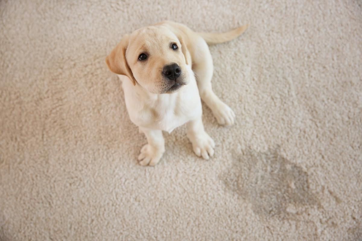 Hunde mit Blasenschwäche oder Inkontinenz: Homöopathie hilft