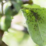 Blattläuse an Zimmerpflanzen: So beugen Sie vor