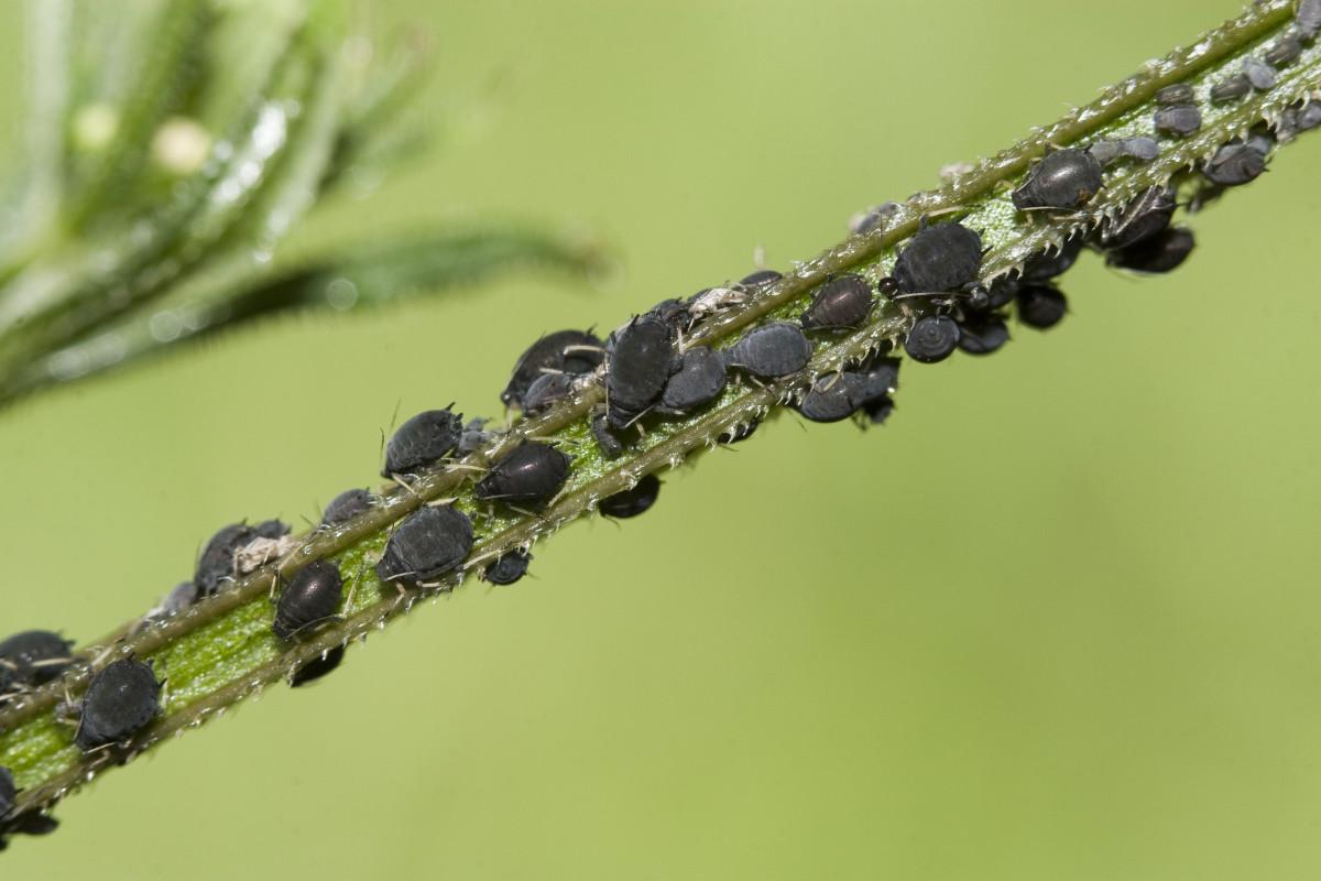 Blattläuse bekämpfen: Seifenlauge oder Sprühflasche, aber bitte biologisch!