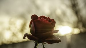 Gartenarbeit im Herbst: Rosen schneiden oder nicht?