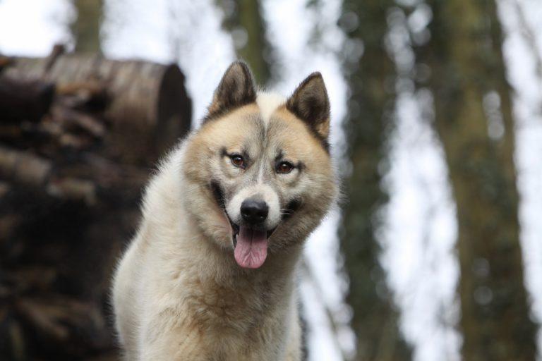 Nordische Hunderassen: Der Grönlandhund
