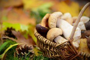Pilze sammeln: Tipps für Anfänger