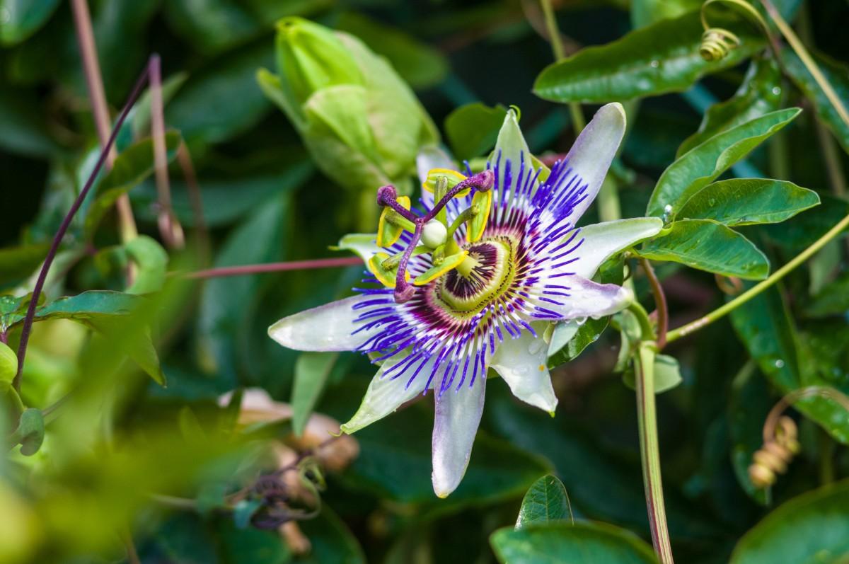 Die Passionsblume wurde zur Arzneipflanze des Jahres 2011 erkoren