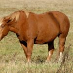 Hufrehe – Laminitis beim Pferd homöopathisch behandeln