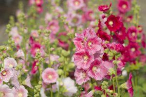 Stockrosen: Sommertipp für mehr Farbe