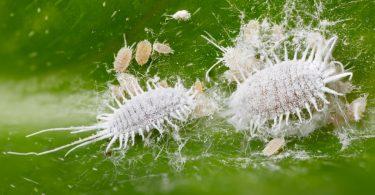 Rosenschädlinge: Blattläuse, Rosenblattrollwespe und Co sicher umgehen