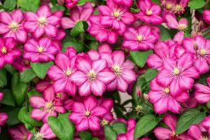 Bachblüte Clematis: der Tagträumer