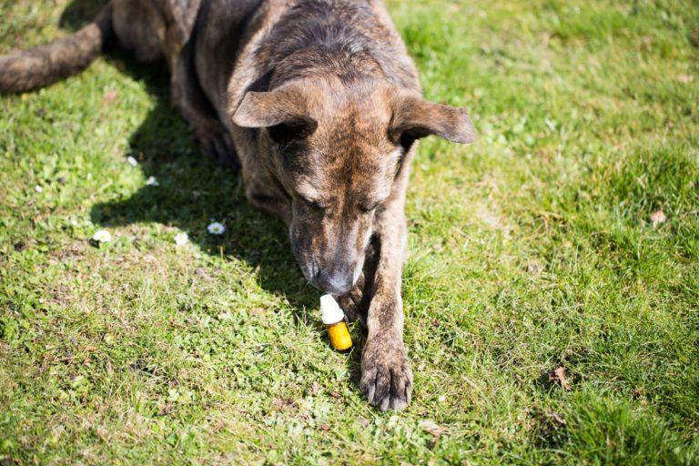 Homöopathische Mittel beim Hund anwenden