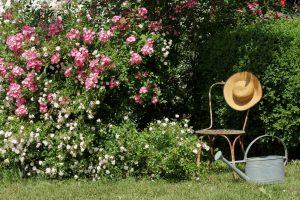 Prächtige Rosen: Rosenpflege für Einsteiger