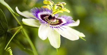 Schlafstörungen mit Passionsblume behandeln