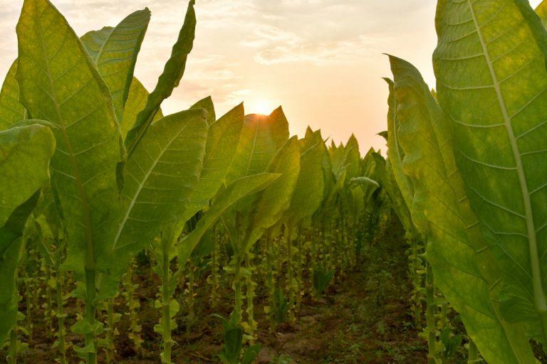 Wie wirkt die Tabakpflanze auf Raucher